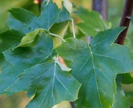 Jarząb brekinia – co to za roślina?