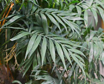 Chamedora wytworna – niezwykła palma koralowa